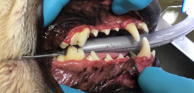 Dog mouth vet inspection with fairly clean teeth