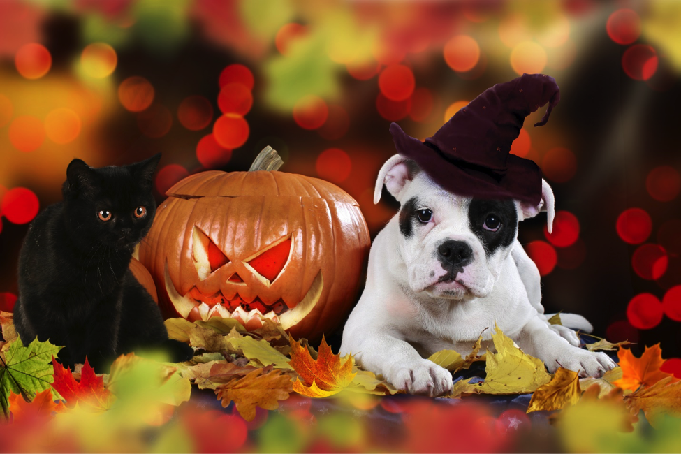 American puppy sitting beside pumpkin and colorful autumn leaves with witch cap and black cat