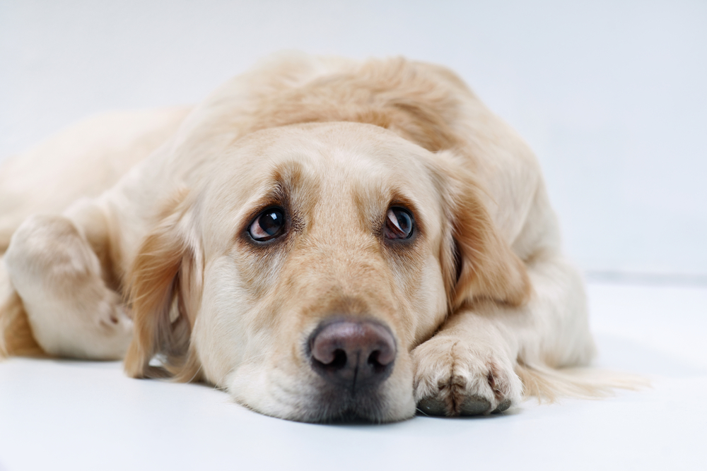 Shot of Golden Retriever on the white background